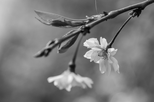 garden-flowers-bw-01