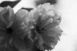 garden-flowers-bw-02